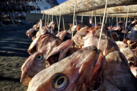 The drying fish heads of Lofoten